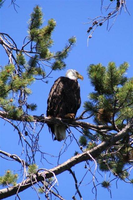 Weißkopfseeadler Wyoming