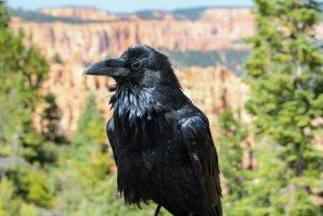 Shiregreen_50days_Raven_BryceCanyon_Utah